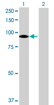 Western blot - Anti-VPS39 antibody (ab69669)