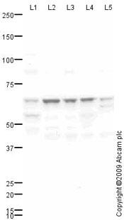 Western blot - Anti-ABCG5 antibody (ab69713)