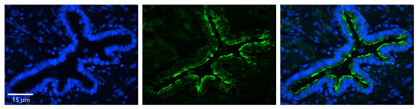 Immunohistochemistry (Formalin/PFA-fixed paraffin-embedded sections) - Anti-MRPS15 antibody (ab69869)