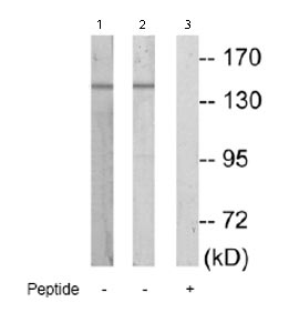 Western blot - Anti-MAP4K4 antibody (ab69885)