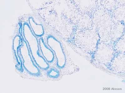 Immunohistochemistry (Frozen sections) - Anti-MIF antibody (ab7207)
