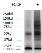 Western blot - Anti-Ubiquitin [Ubi-1] antibody (ab7254)