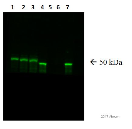Western blot - Anti-GFAP antibody (ab7260)