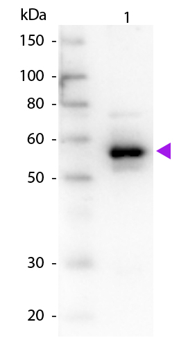 Western blot - Anti-alpha 1 Antitrypsin antibody (ab7633)