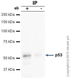 Immunoprecipitation - Anti-p53 antibody [BP53-12] (ab7757)