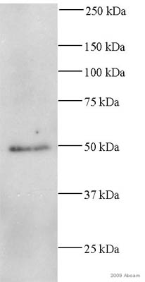 Western blot - Anti-beta Tubulin antibody [TU-06] (ab7792)