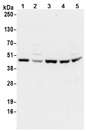 Western blot - Anti-beta Actin antibody (ab70165)