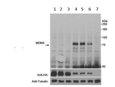 Western blot - Anti-MDMX (phospho S403) antibody (ab70236)