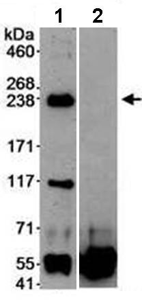 Immunoprecipitation - Anti-DOCK9 antibody (ab70272)