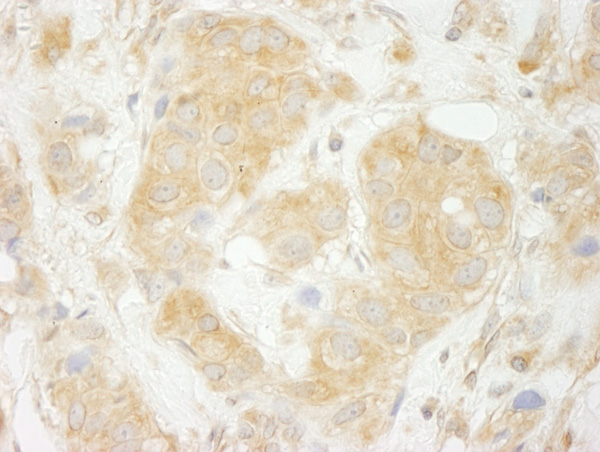 Immunohistochemistry (Formalin/PFA-fixed paraffin-embedded sections) - Anti-SEC23IP antibody (ab70339)