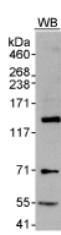 Western blot - Anti-MAML1 antibody (ab70488)