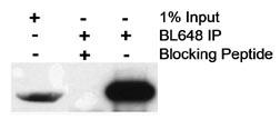 Immunoprecipitation - Anti-HRPT2 antibody (ab70533)