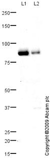 Western blot - Anti-Pinin antibody (ab70605)