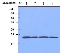 Western blot - Anti-Peroxiredoxin 1 antibody [3G5] (ab70666)