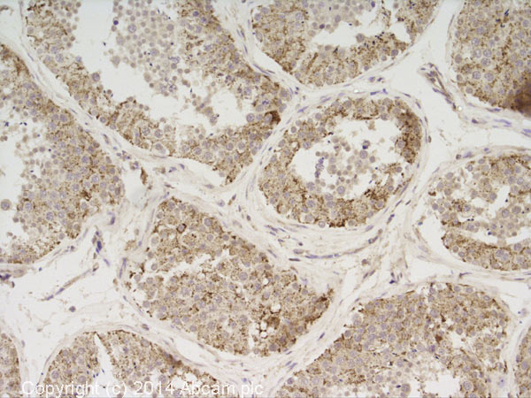 Immunohistochemistry (Formalin/PFA-fixed paraffin-embedded sections) - Anti-Thioredoxin 2 antibody - C-terminal (ab71262)