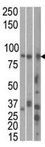 Western blot - Anti-MARK1 antibody (ab71306)