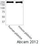 Western blot - Anti-Talin 1 antibody (ab71333)