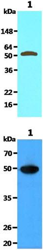 Western blot - Anti-Visfatin antibody [4D5] (ab71505)