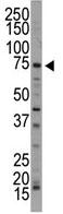 Western blot - Anti-ARK5 antibody (ab71814)