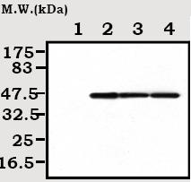 Western blot - Creatine Kinase BB antibody [3A6] (ab71944)
