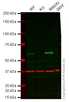 Western blot - Anti-STK3 antibody [3067C3a] (ab71960)