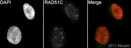 Immunocytochemistry/ Immunofluorescence - Anti-Rad51C antibody (ab72063)