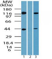 Western blot - Anti-Uba6 antibody (ab72091)