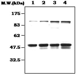 Western blot - NFkB p105 / p50 antibody [13A2F] (ab72138)
