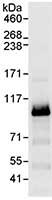 Immunoprecipitation - Anti-Cdc27 antibody (ab72214)
