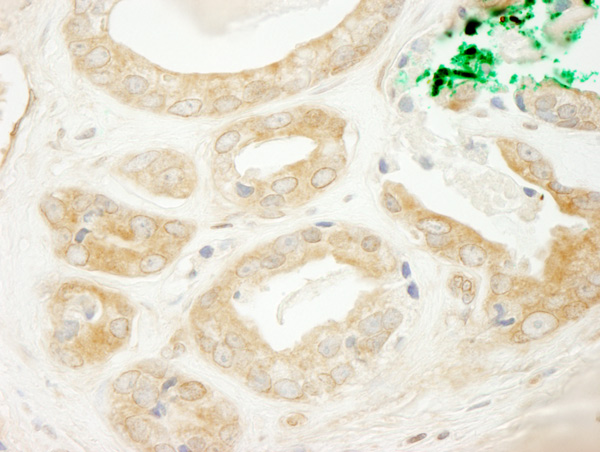 Immunohistochemistry (Formalin/PFA-fixed paraffin-embedded sections) - Anti-ARFGEF2 antibody (ab72420)