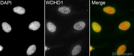Immunocytochemistry/ Immunofluorescence - Anti-WDHD1 antibody (ab72436)