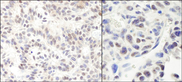 Immunohistochemistry (Formalin/PFA-fixed paraffin-embedded sections) - Anti-HMG4 antibody (ab72544)