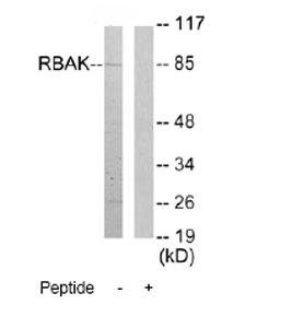 Western blot - Anti-RB associated KRAB repressor antibody (ab72609)
