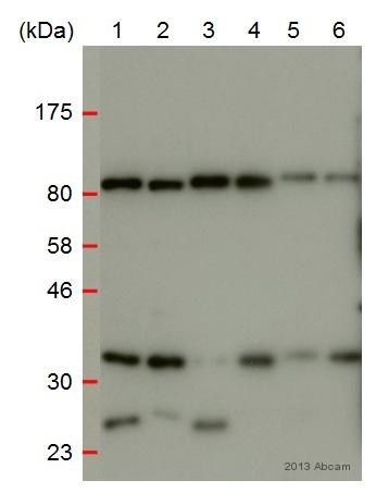 Western blot - Anti-TRA2A antibody (ab72625)