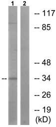 Western blot - Anti-Cyclin H (phospho T315) antibody (ab73208)