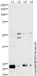 Western blot - Anti-Peroxiredoxin 3 antibody (ab73349)
