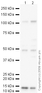Western blot - Anti-Osteoprotegerin antibody (ab73400)