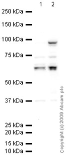 Western blot - Anti-Staufen antibody (ab73478)