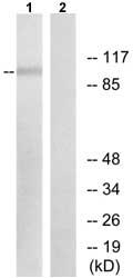 Western blot - Anti-XPF antibody (ab73720)