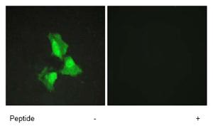 Immunocytochemistry/ Immunofluorescence - Anti-TNFAIP3 antibody (ab74037)