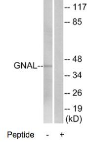 Western blot - Anti-GNAL antibody (ab74049)