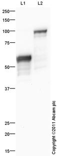 Western blot - Anti-Kazrin antibody (ab74114)