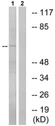 Western blot - Anti-VGF antibody (ab74140)