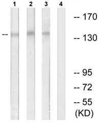 Western blot - Anti-NUP160 antibody (ab74147)