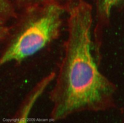 Immunocytochemistry/ Immunofluorescence - Anti-IGFBP7 antibody (ab74169)
