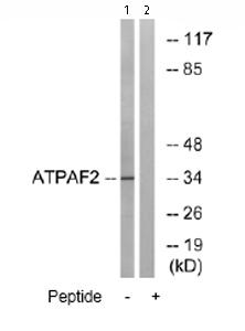 Western blot - Anti-ATPAF2 antibody (ab74235)