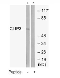 Western blot - Anti-CLIP3 antibody (ab74239)