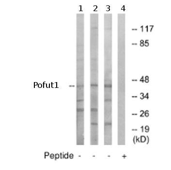 Western blot - Anti-Pofut1 antibody (ab74302)