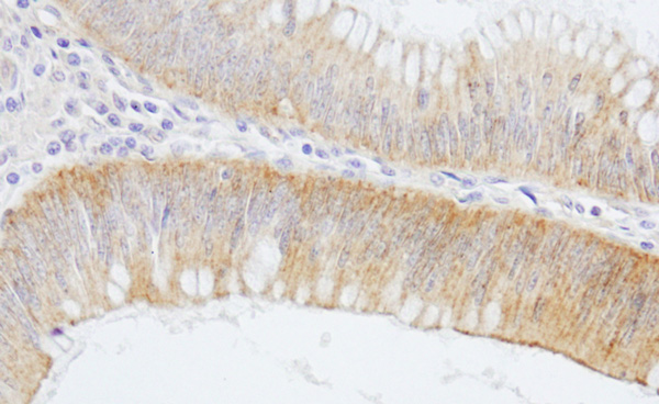 Immunohistochemistry (Formalin/PFA-fixed paraffin-embedded sections) - Anti-Alpha Fodrin antibody (ab74312)