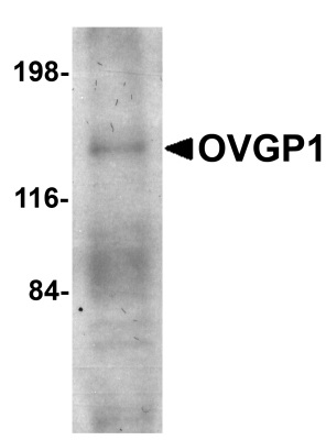 Western blot - OVGP1 antibody (ab74544)